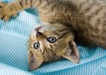 Brown Cat on Blue Striped Sheet