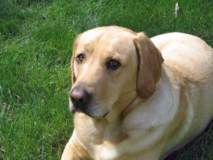 Yellow Lab on Green Grass