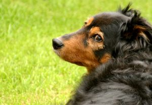 Black and Brown Dog Looking Over Shoulder